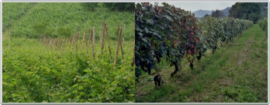 Eno Agriturismo Gallina Giacinto a Santo Stefano Belbo - Vigne